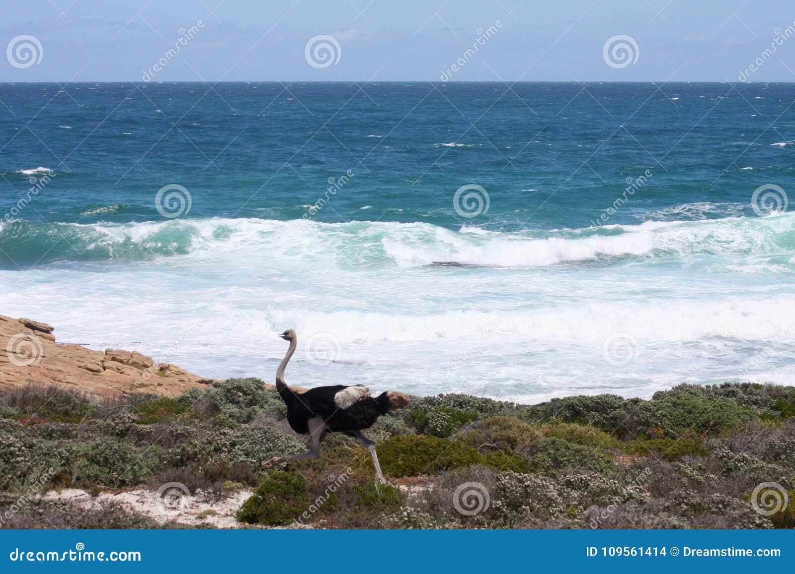 Strauß Der Entlang Die Seeküste Läuft Stockfoto Bild Von Ozean