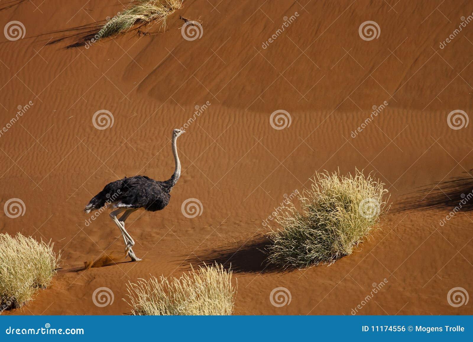 Strauß Der In Wüstendünen Läuft Stockfoto Bild Von Safari Sand