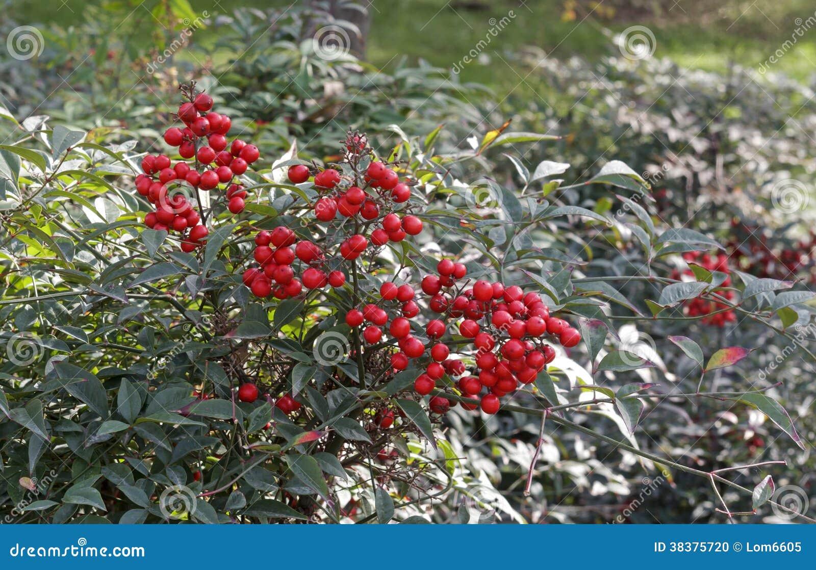 strauch mit roten beeren stockfoto bild von busch sch nheit 38375720. Black Bedroom Furniture Sets. Home Design Ideas