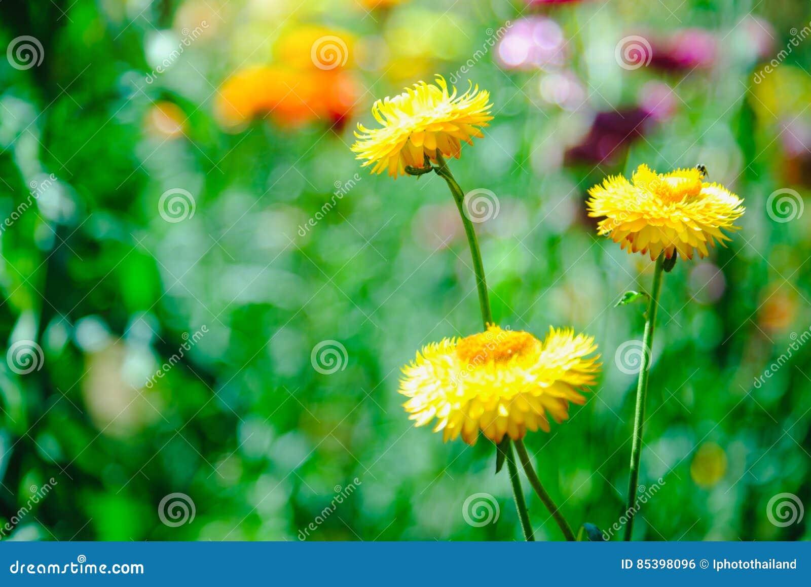 Straw Flower Or Everlasting Or Paper Daisy Flower In Garden Stock