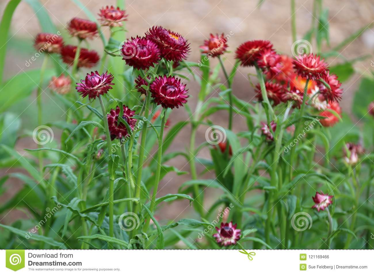 Straw Flowers Stock Photo Image Of Bloom Pretty Green 121169466