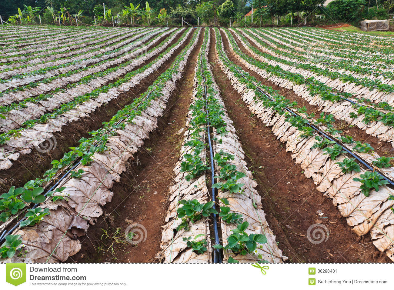 Strawberry farming business plan