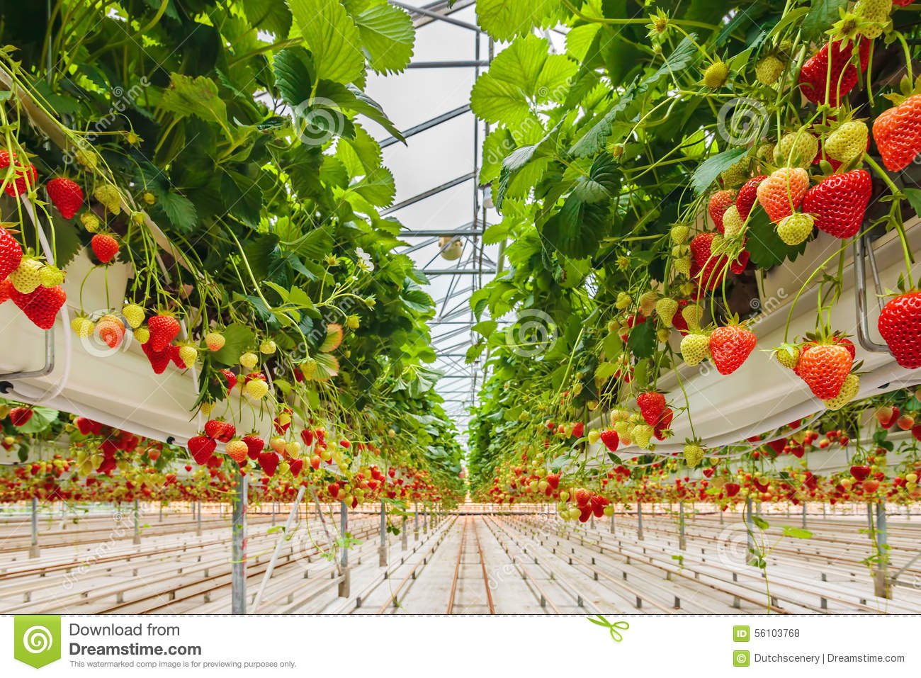 Strawberries Growing In A Greenhouse Stock Photo Image