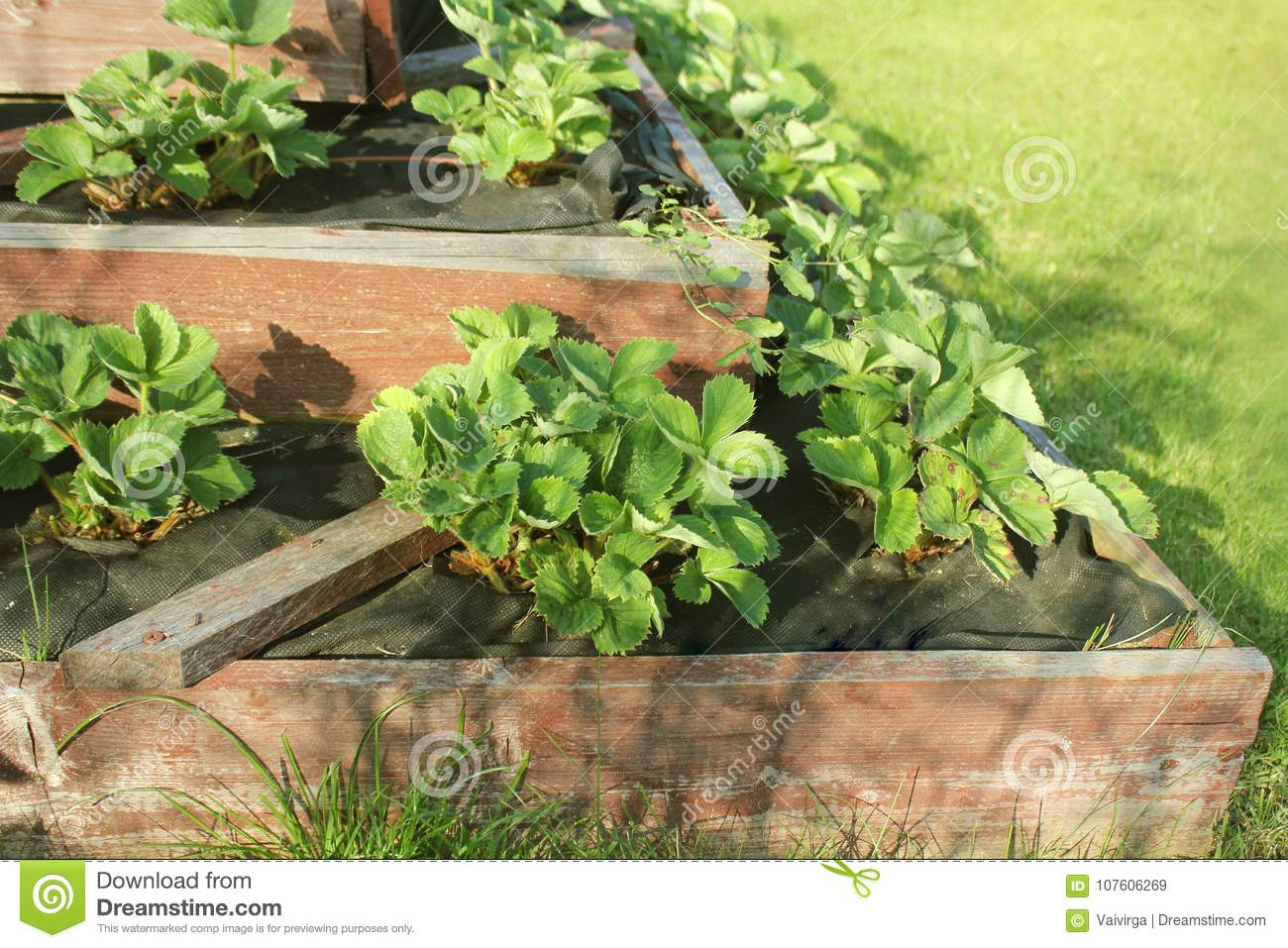 Strawberries Grows Up In Raised Garden Bed Pyramid Raised
