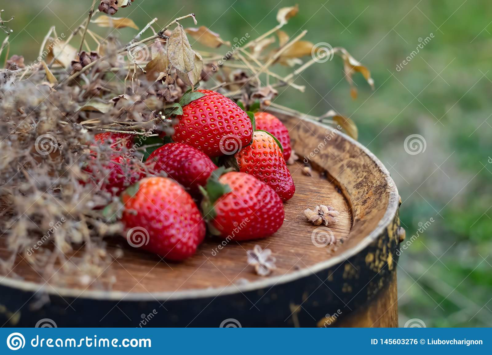 Strawberries on a wine wooden barrel in an orchard in summertime.