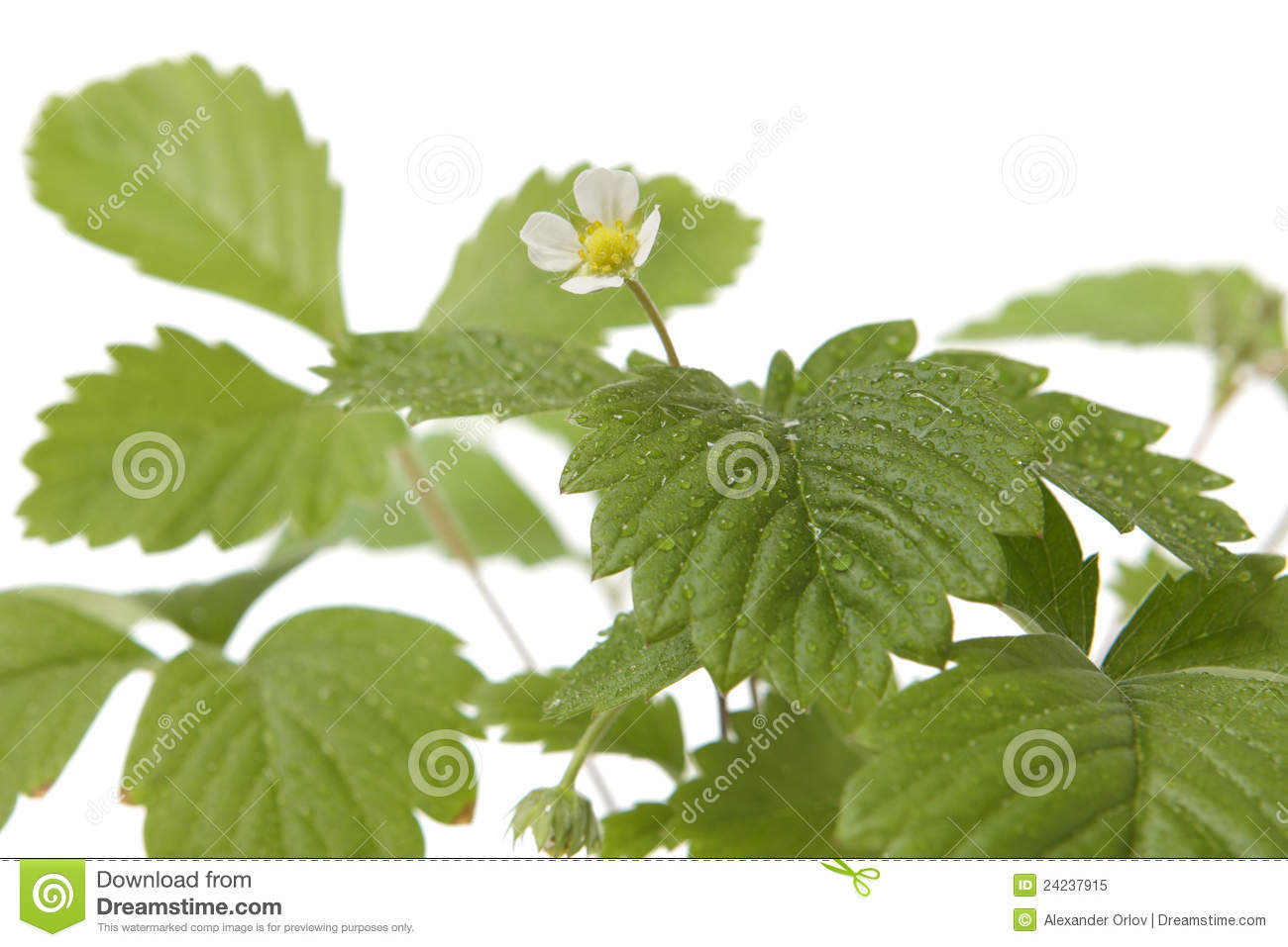 Royalty Free Stock Photo  Strawberry baby plantBaby Strawberry Plants