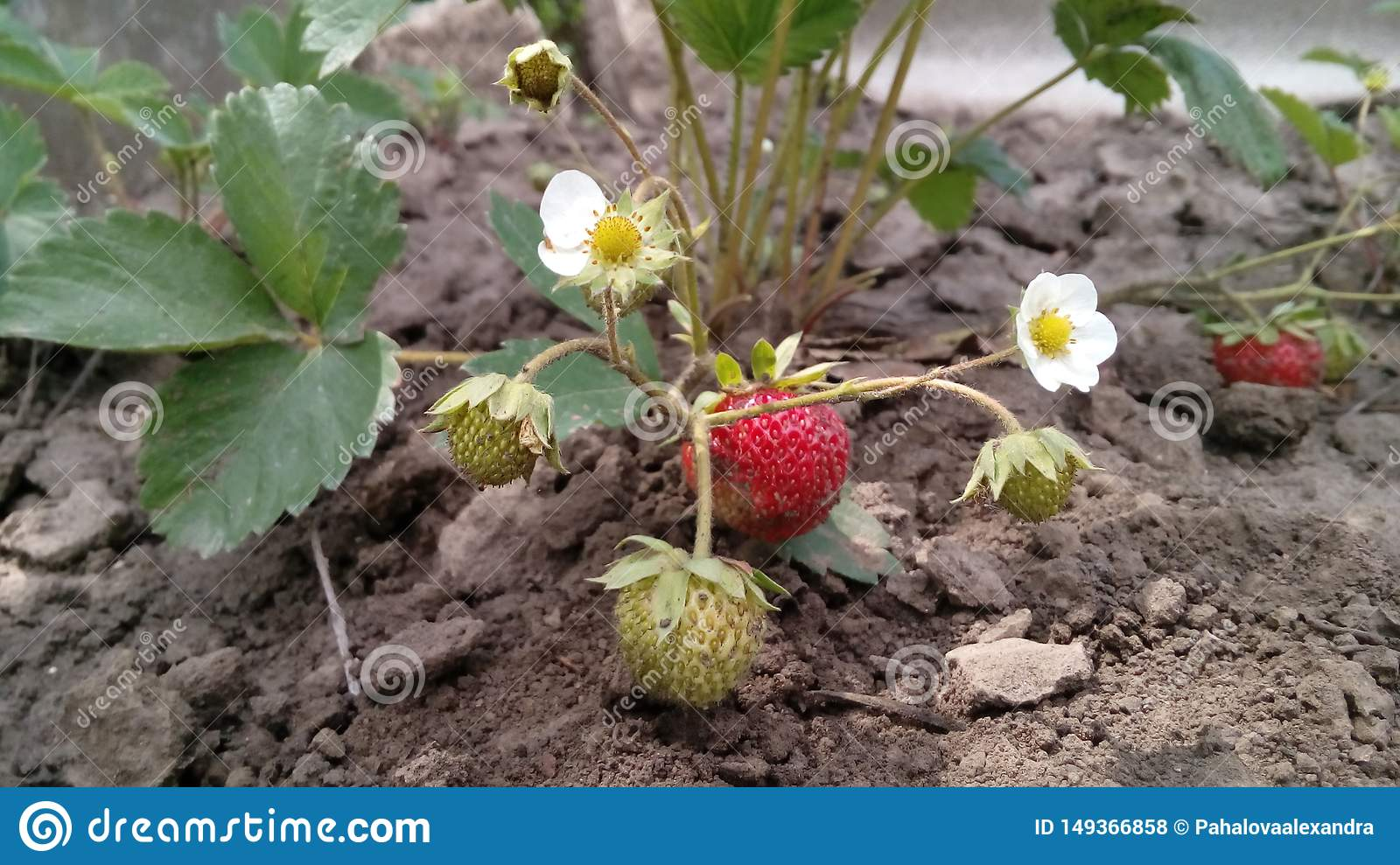 Strawberry Bush with flowers and strawberries