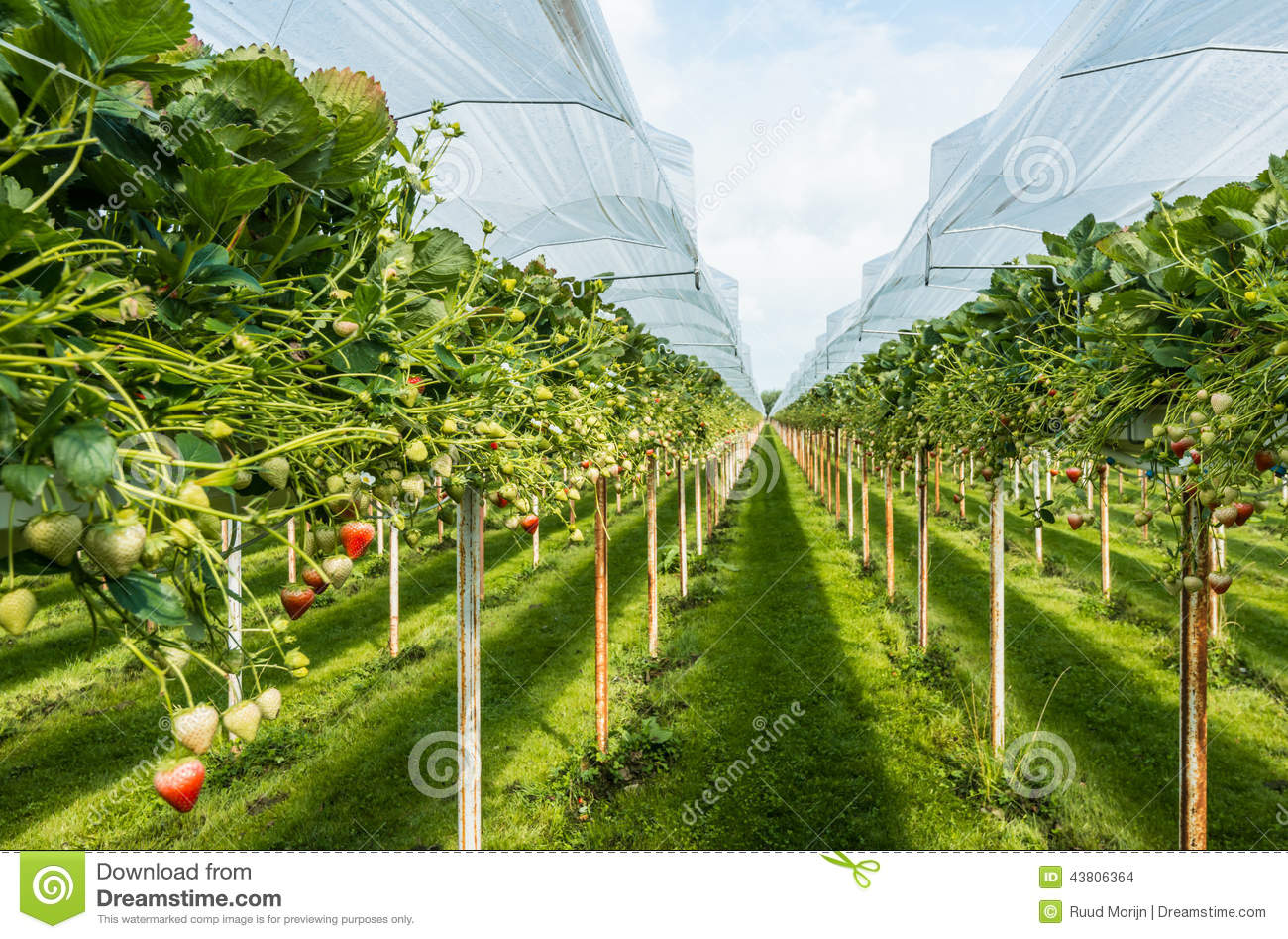 Strawberry Cultivation Outdoors Stock Photo Image Of Complex Morin Outdoor Substrate Strawberries Under Plastic Film On A For The Pickers Ergonomic Height