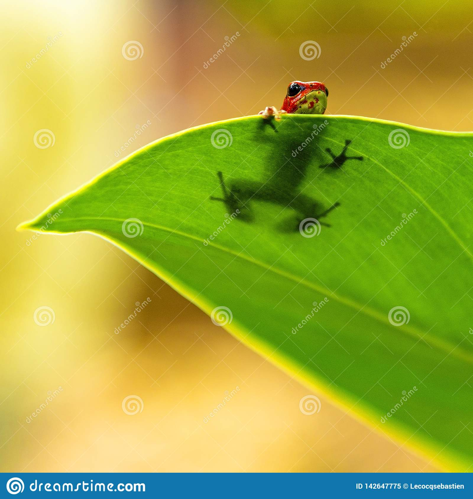 Strawberry Dart Frog in Hiding, Panama