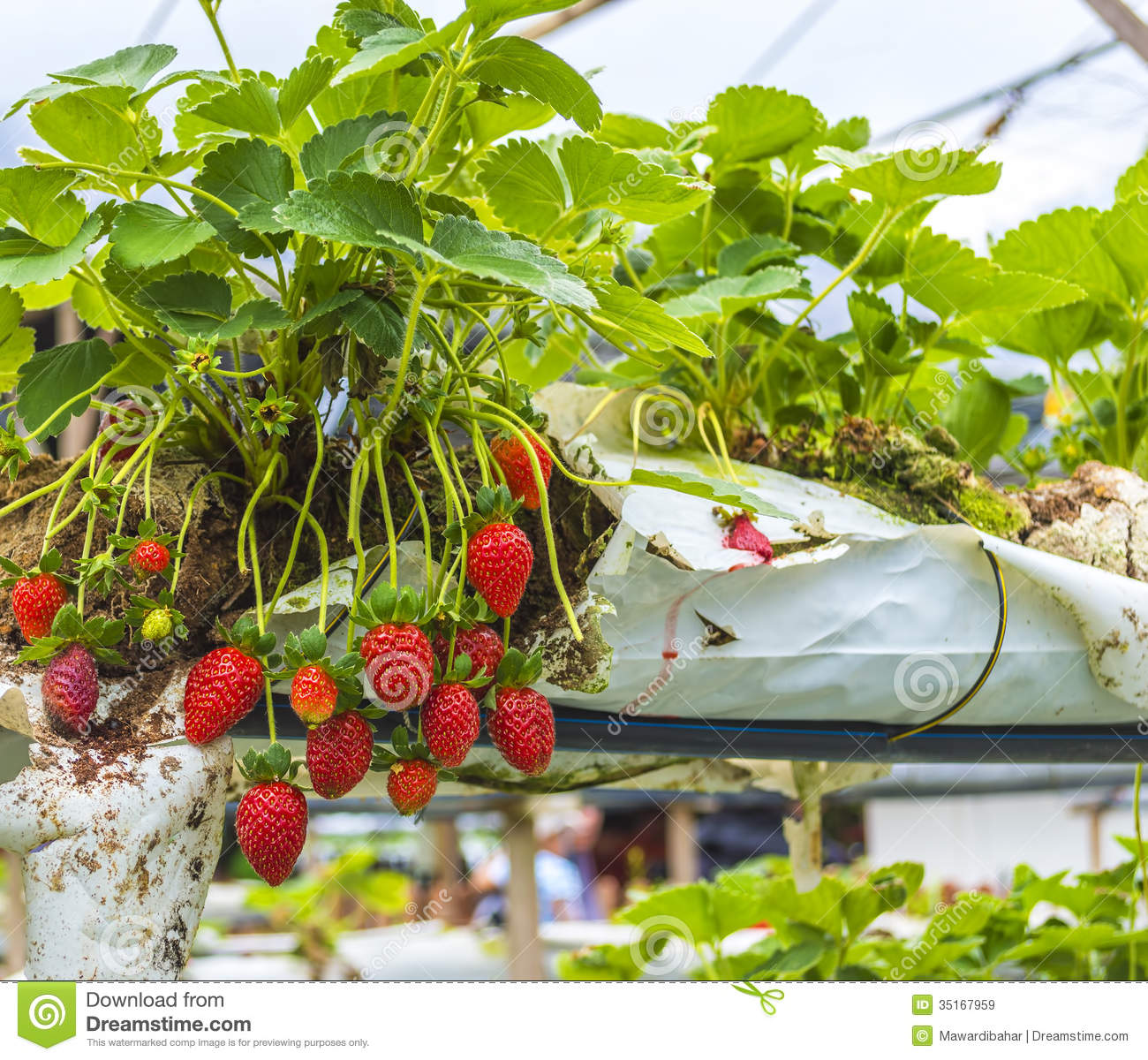 Strawberry Farm Royalty Free Stock Images Image 35167959