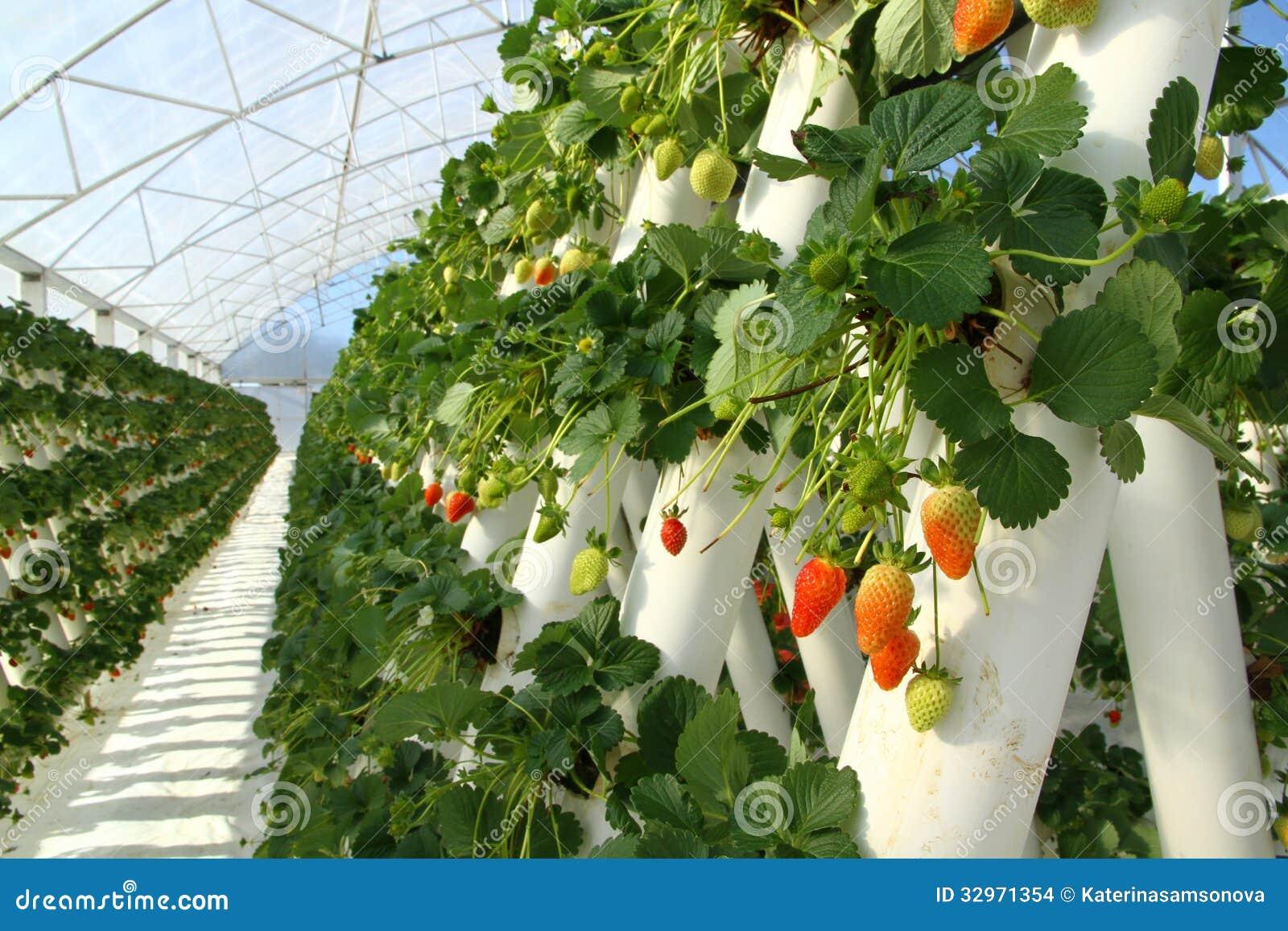 Strawberry farming business plan