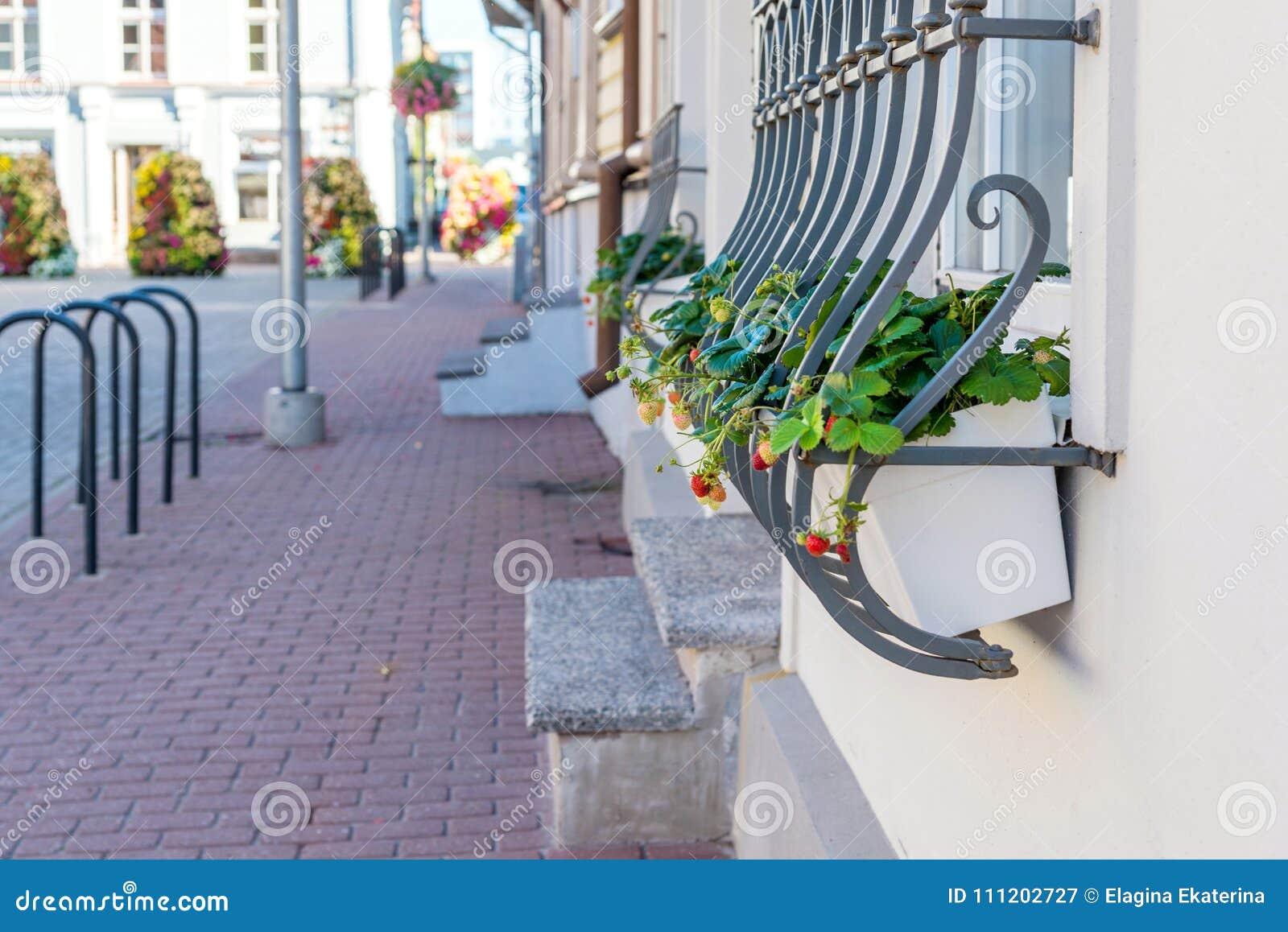 Strawberry in flowerpot on the street. window decoration