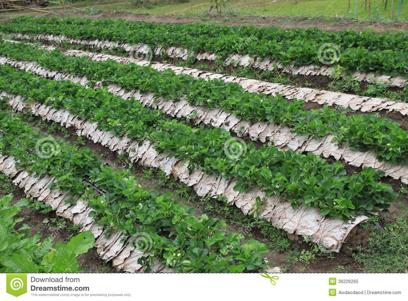 Strawberry Garden Field Royalty Free Stock Photo - Image: 36226265