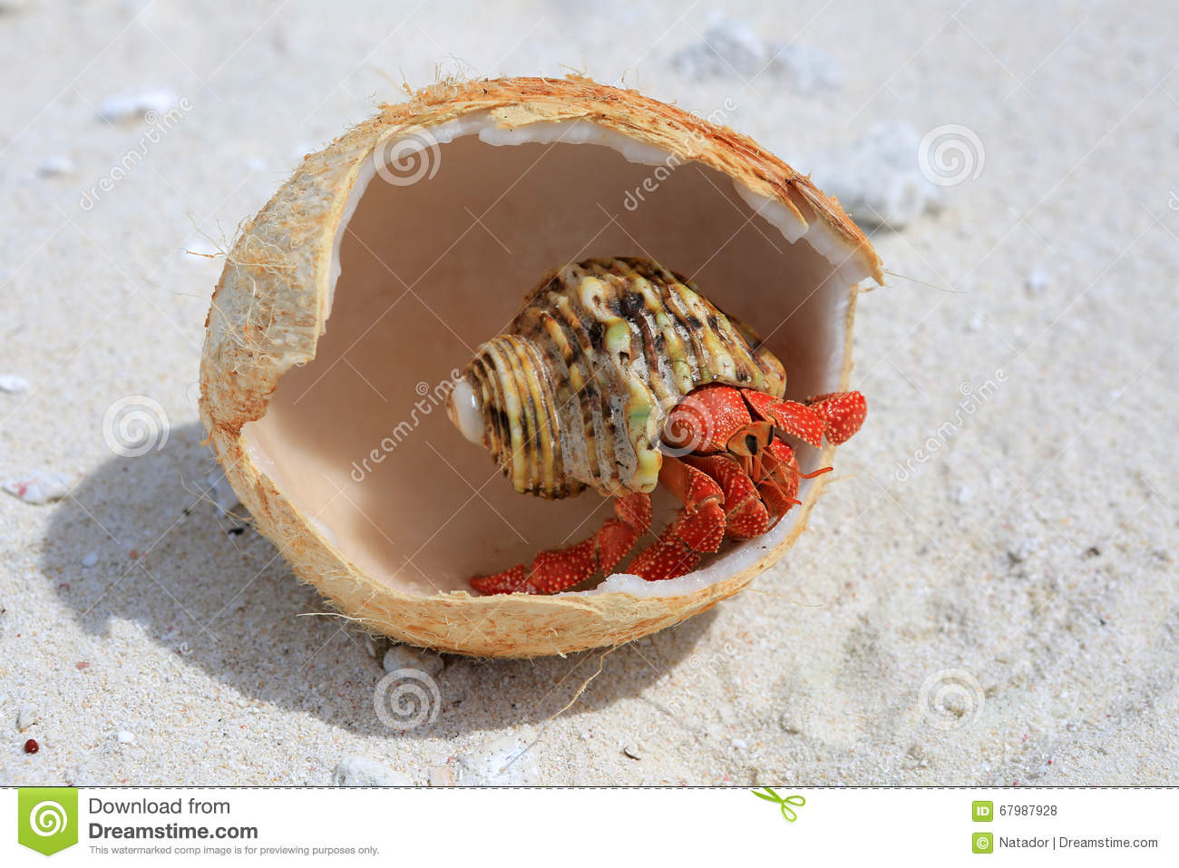 coconut crab eating