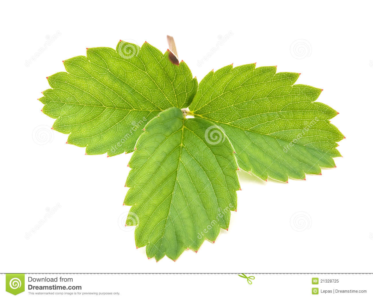 Strawberry green leave cloesup isolated on white background.