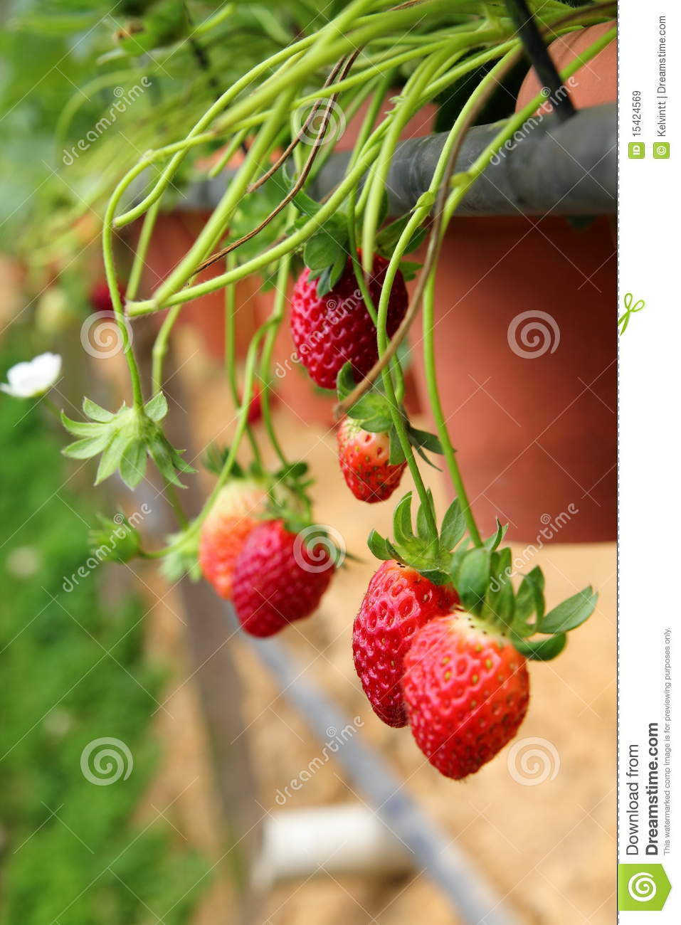 Strawberry Plant Royalty Free Stock Images - Image: 15424569