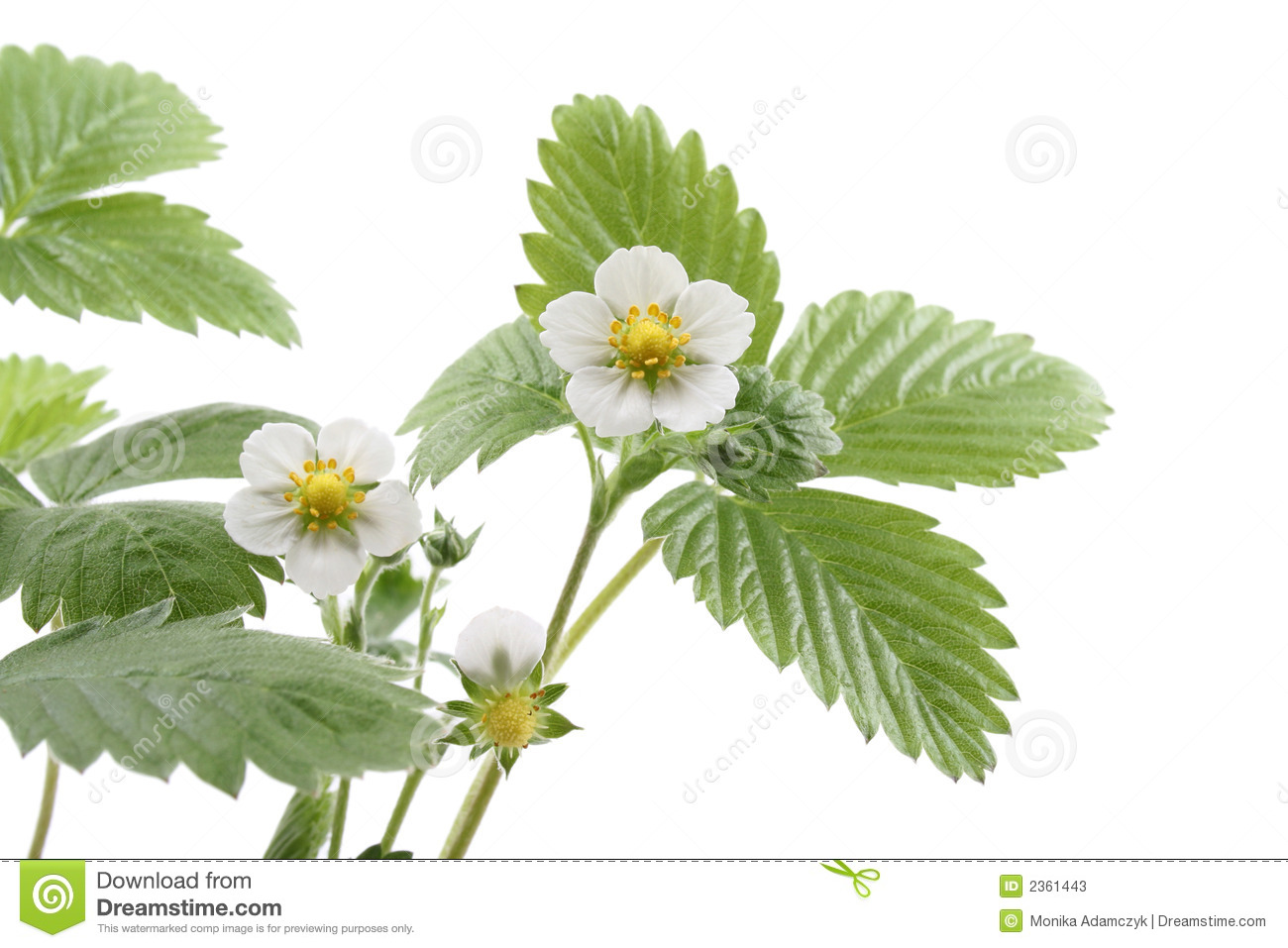 Strawberry plant stock image image of flower plants 2361443 - Flowers planted may complete garden ...