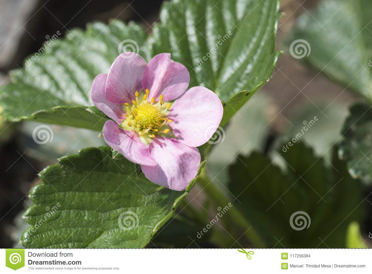 Strawberry Plant With Pink Flower Stock Photo Image Of Background