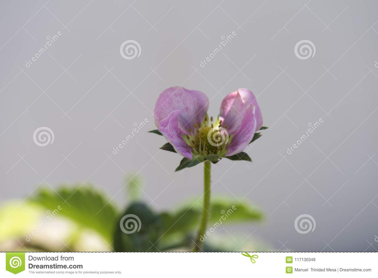 Strawberry Plant With Pink Flower Stock Photo Image Of Petal