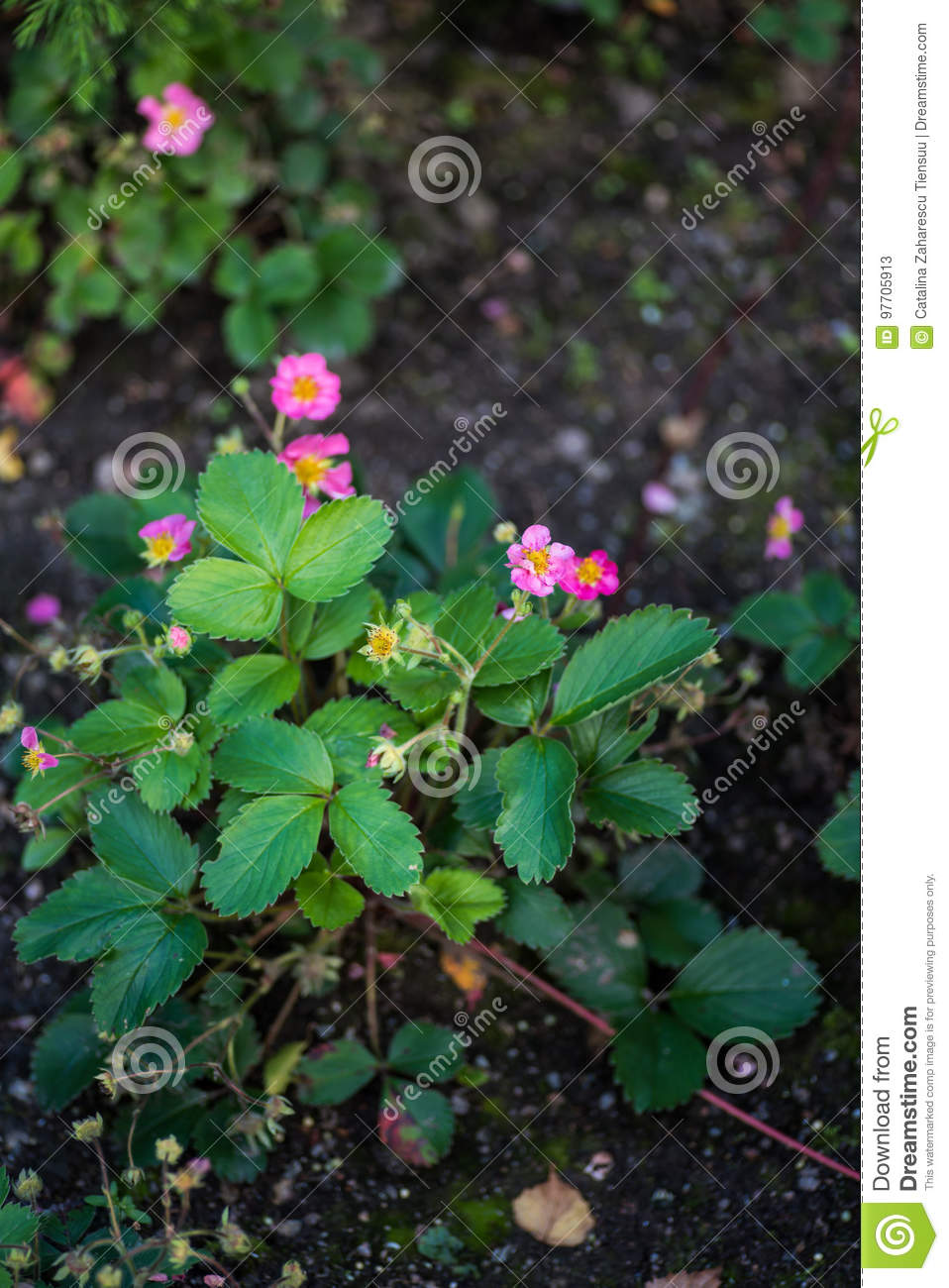 Strawberry plant with pink flowers stock image image of dark download comp mightylinksfo