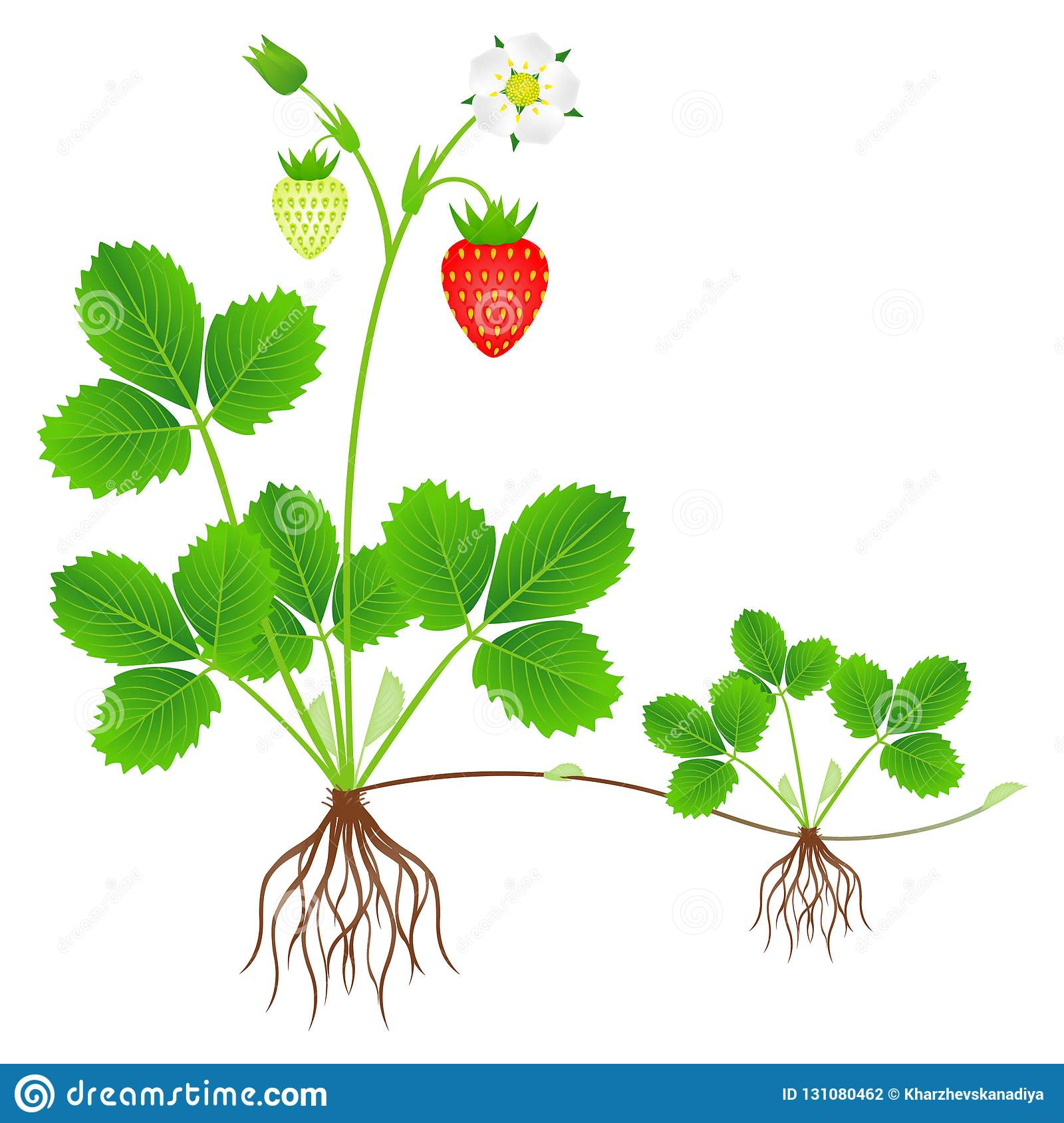 Strawberry plant with roots, flowers, fruits and daughter plant.
