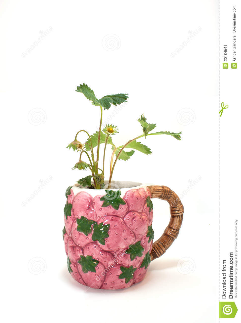 Strawberry Plant in A Strawberry Cup