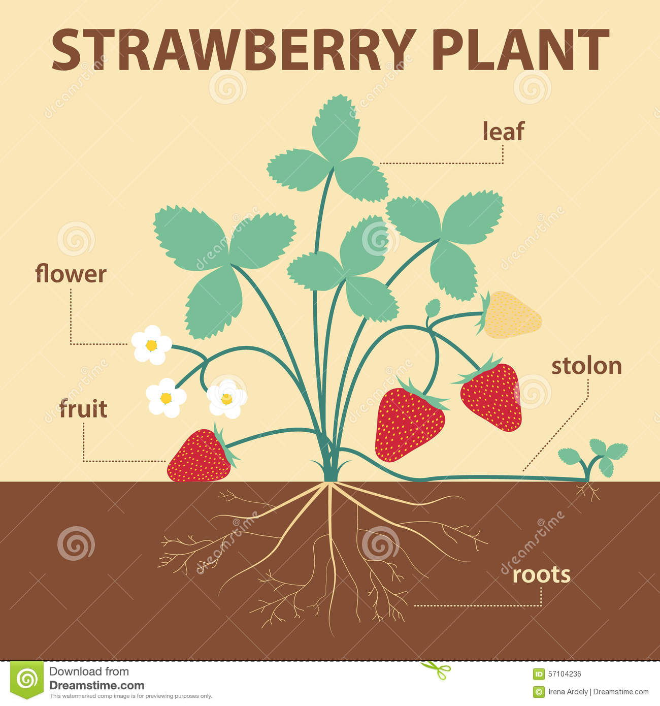 Vector illustration showing parts of strawberry whole plant ...