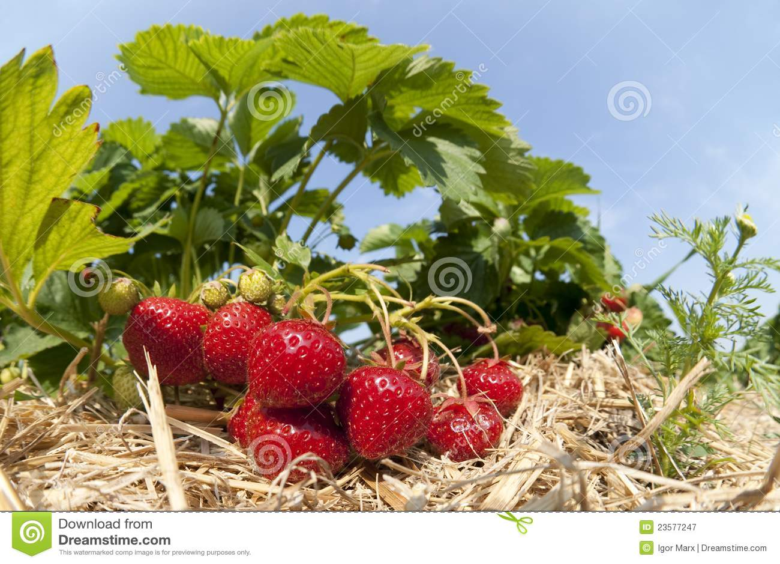 Strawberry Plantation Royalty Free Stock Photography Image 23577247