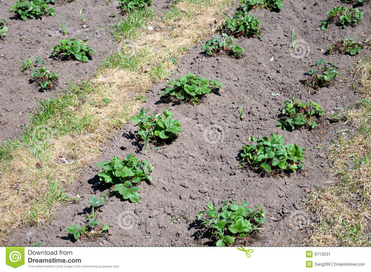 Strawberry planting in the early spring stock image image 9713031 - Plant strawberries spring ...