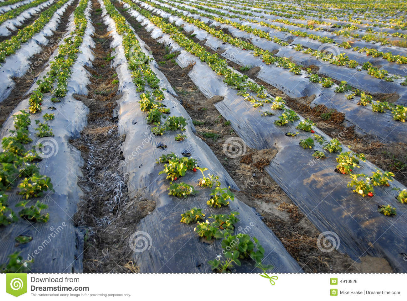 Strawberry Plants Growing Royalty Free Stock Image - Image: 4910926