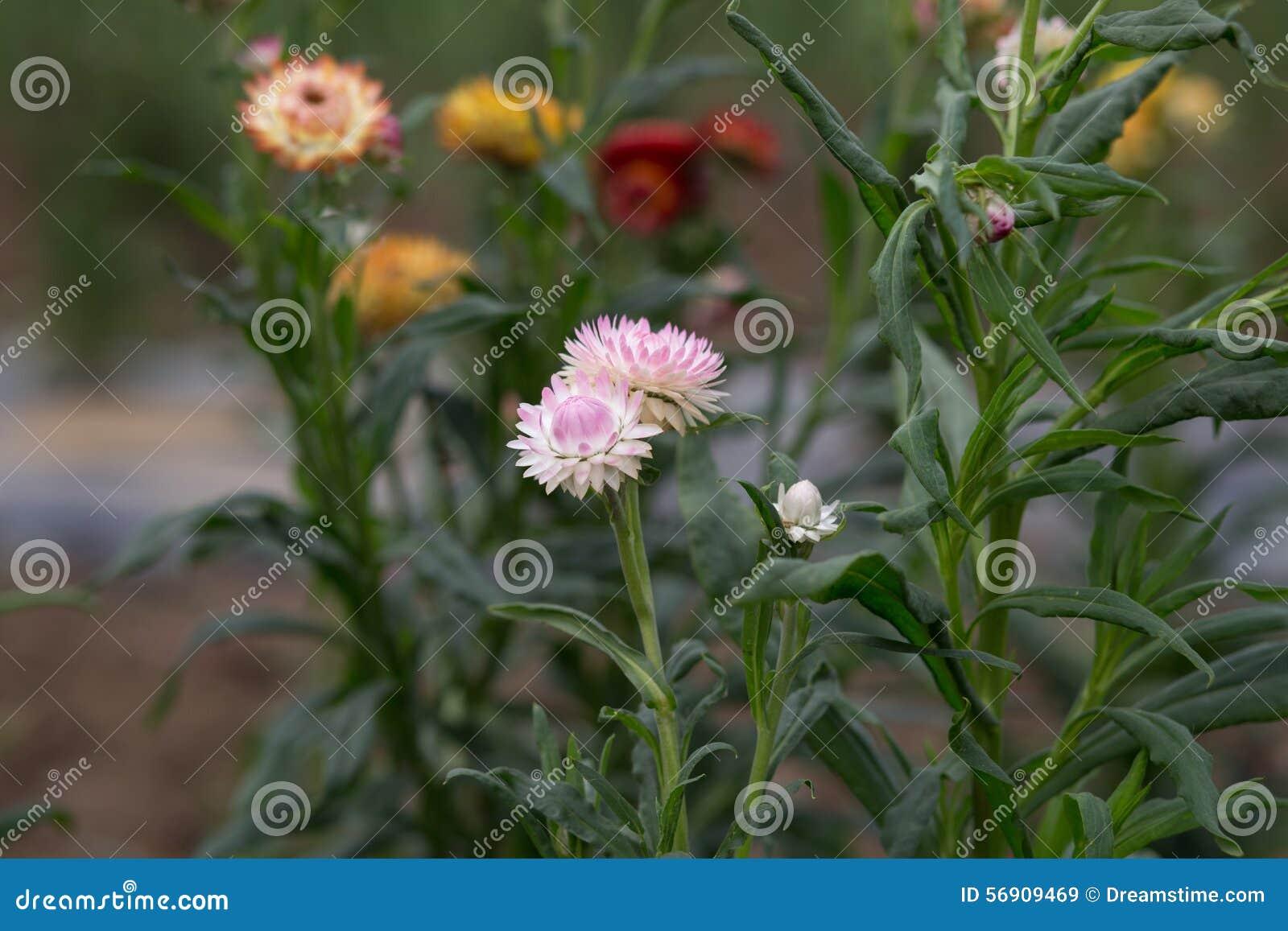 Strawflower - εικόνα αποθεμάτων