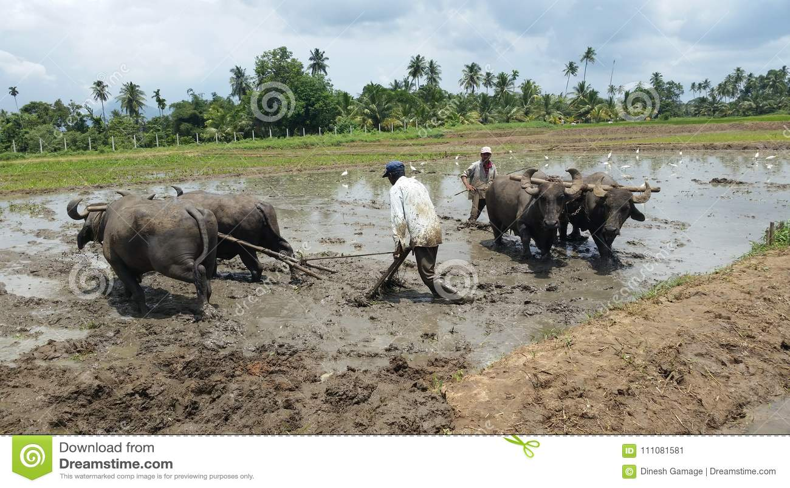 Straziante di coltivazione del riso usando bufalo