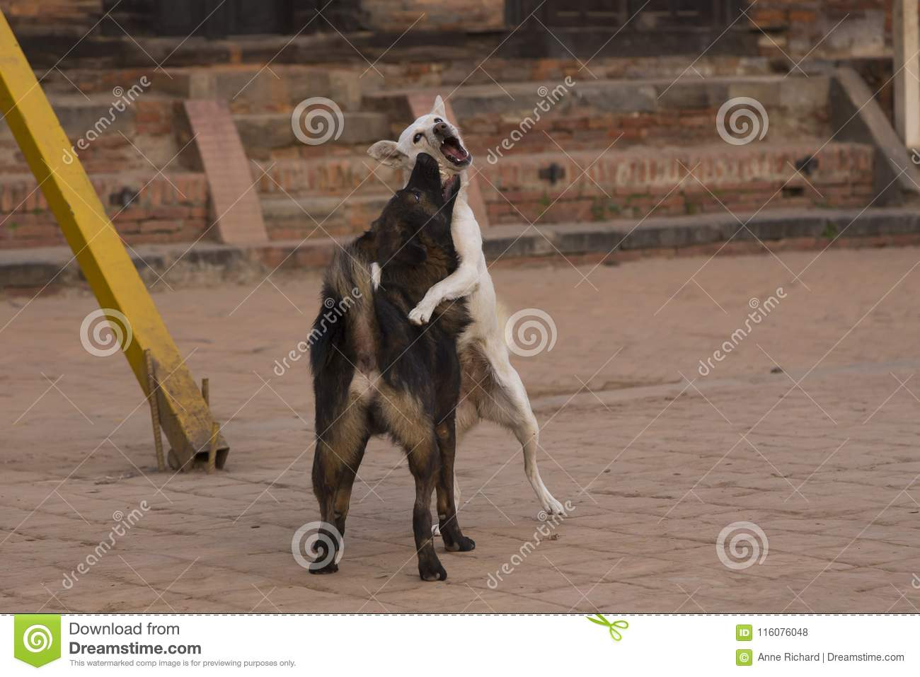 Street dogs jumping on each other while mock fighting