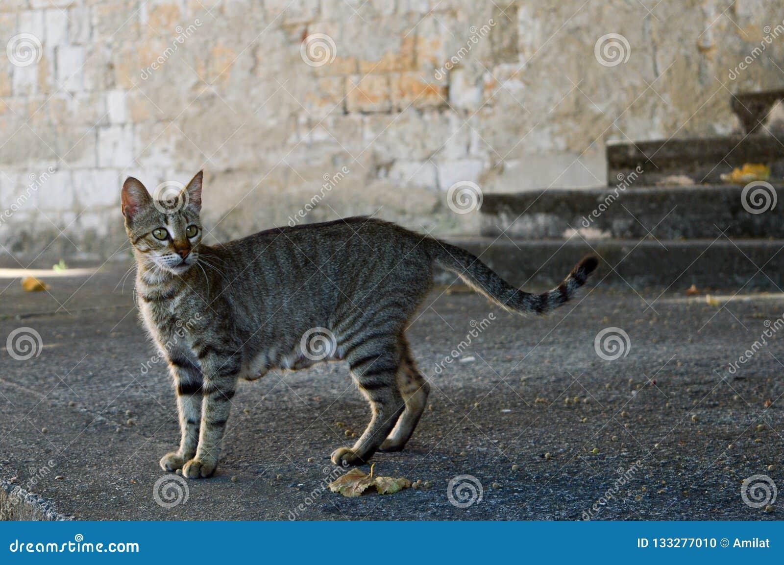 Street grey cat