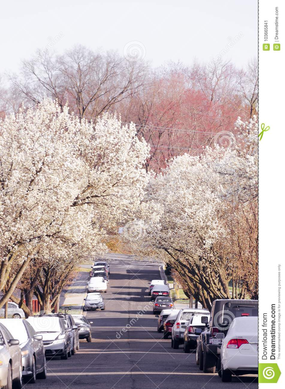 A Street Surrounded By Pink And White Blooming Trees Editorial Photo