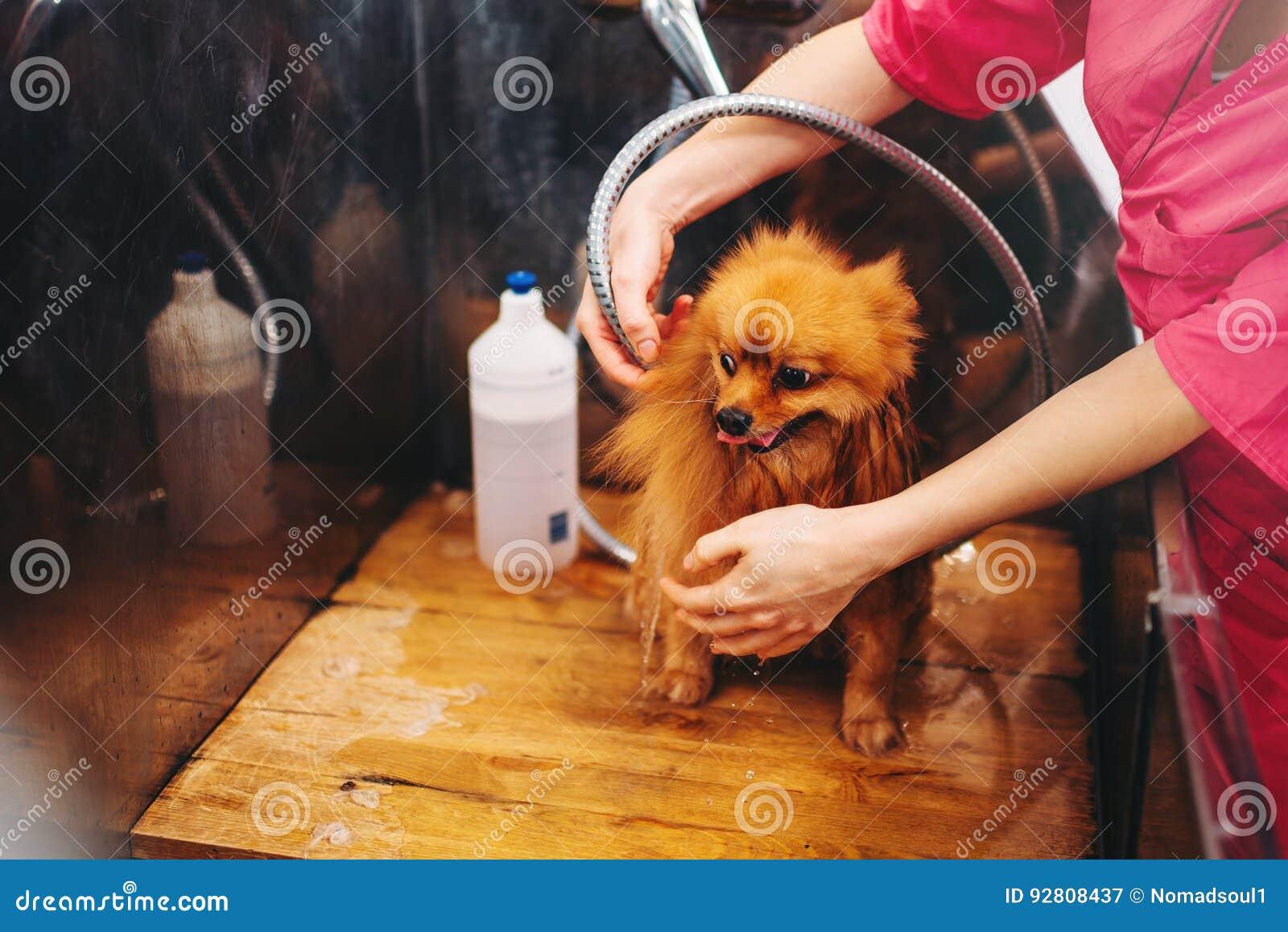 Streicheln Sie das Pflegen, den Hund, der im Groomersalon sich wäscht