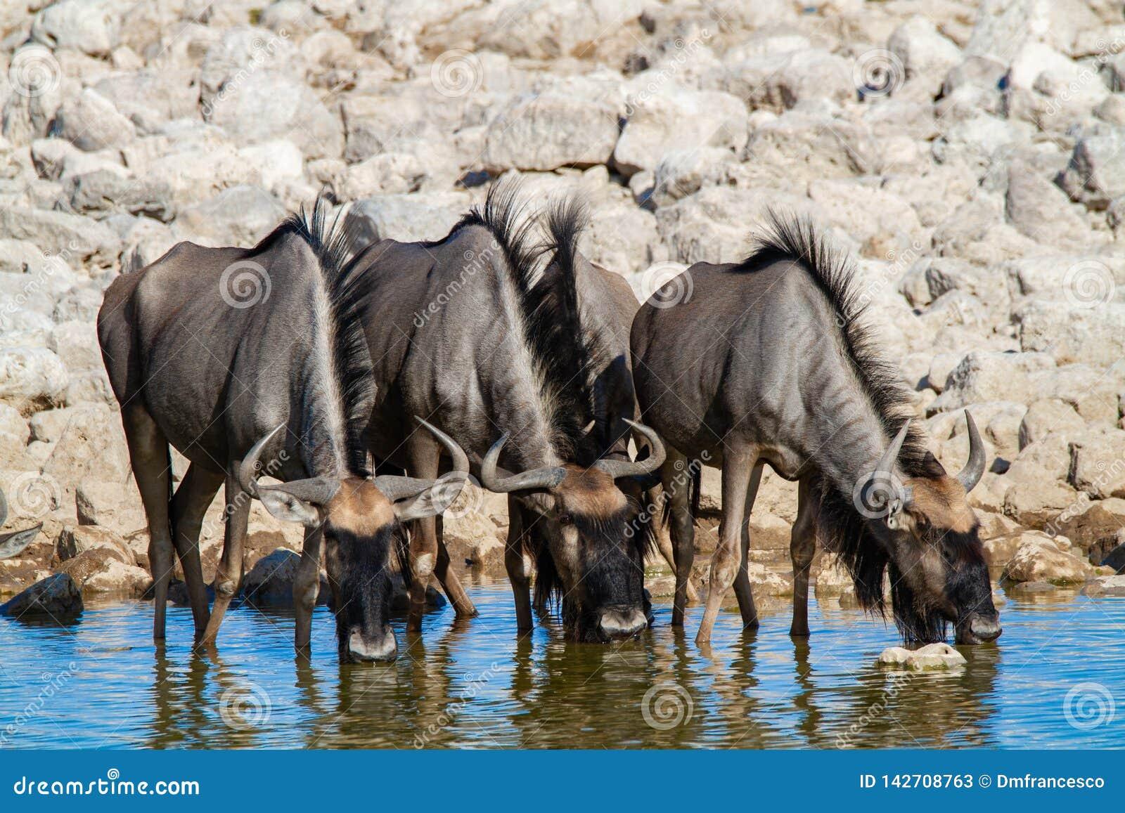 Streifengnunamibia-Wüsten und -natur in den Nationalparks
