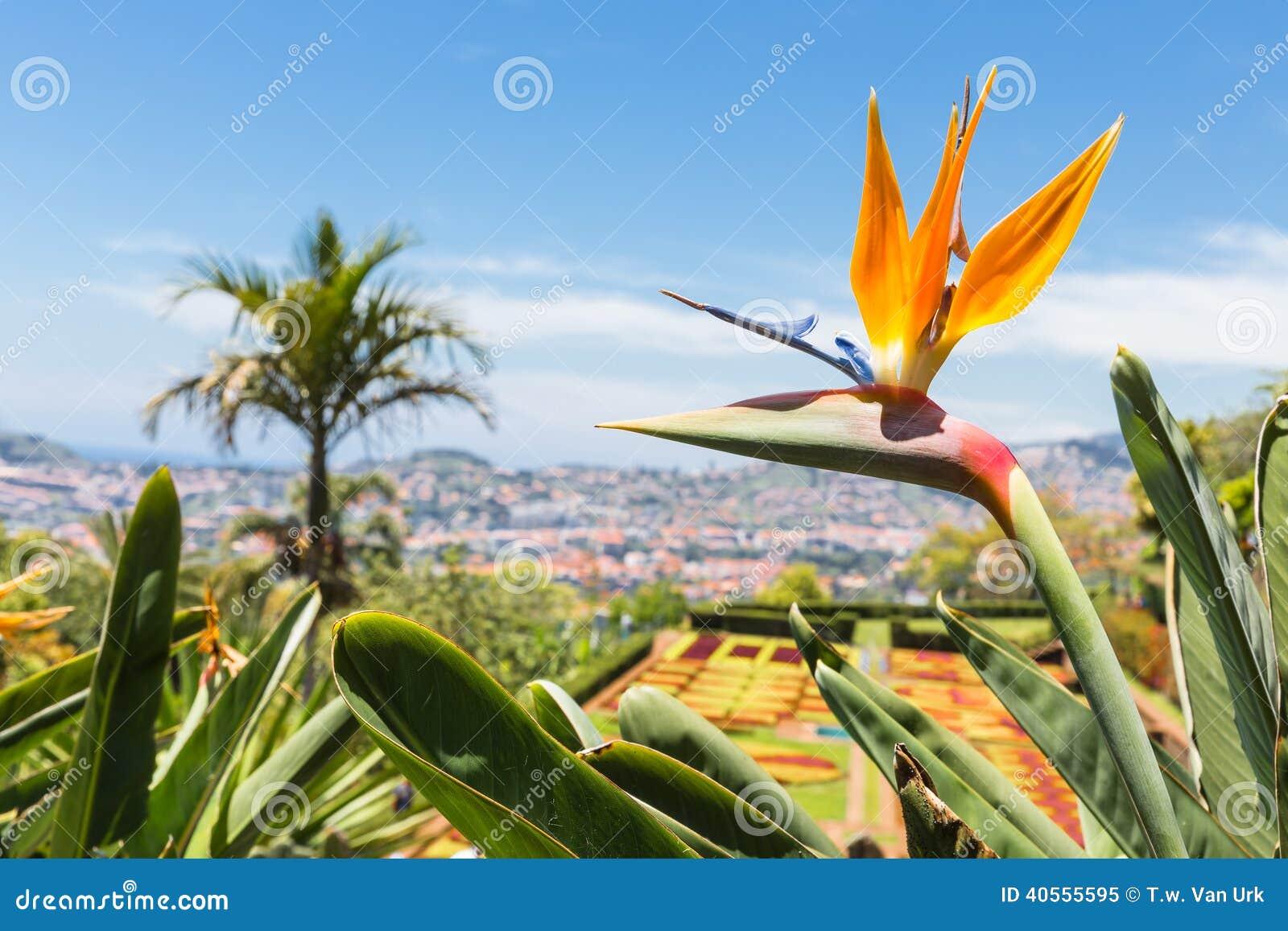 Strelitzia в ботаническом саде Фуншале на острове Мадейры