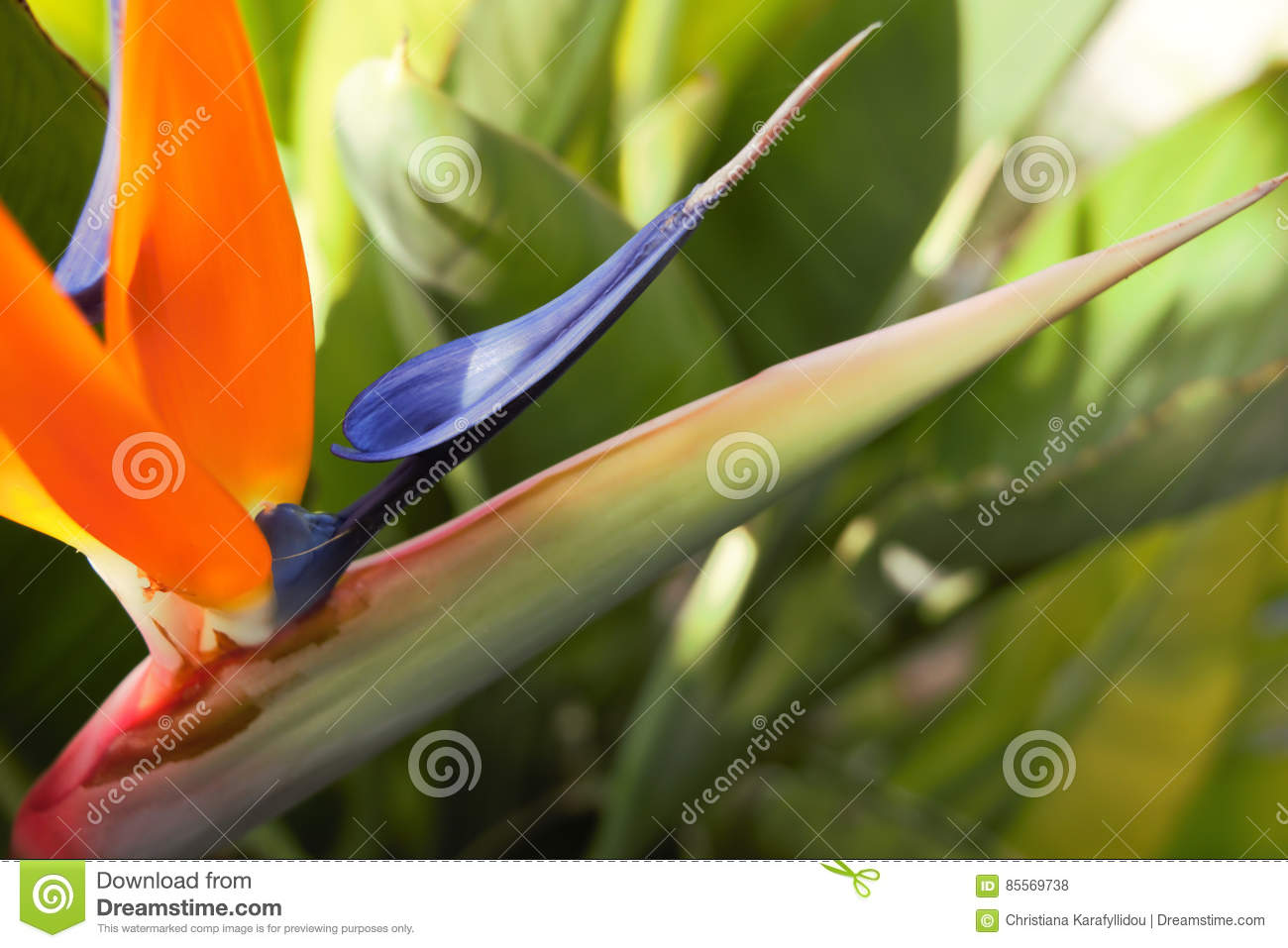 Strelitzia bird of paradise flower stock photo image of nature a common name of the genus strelitzia is bird of paradise flowerplant it is one of the most beautiful exotic flowers native to south africa izmirmasajfo