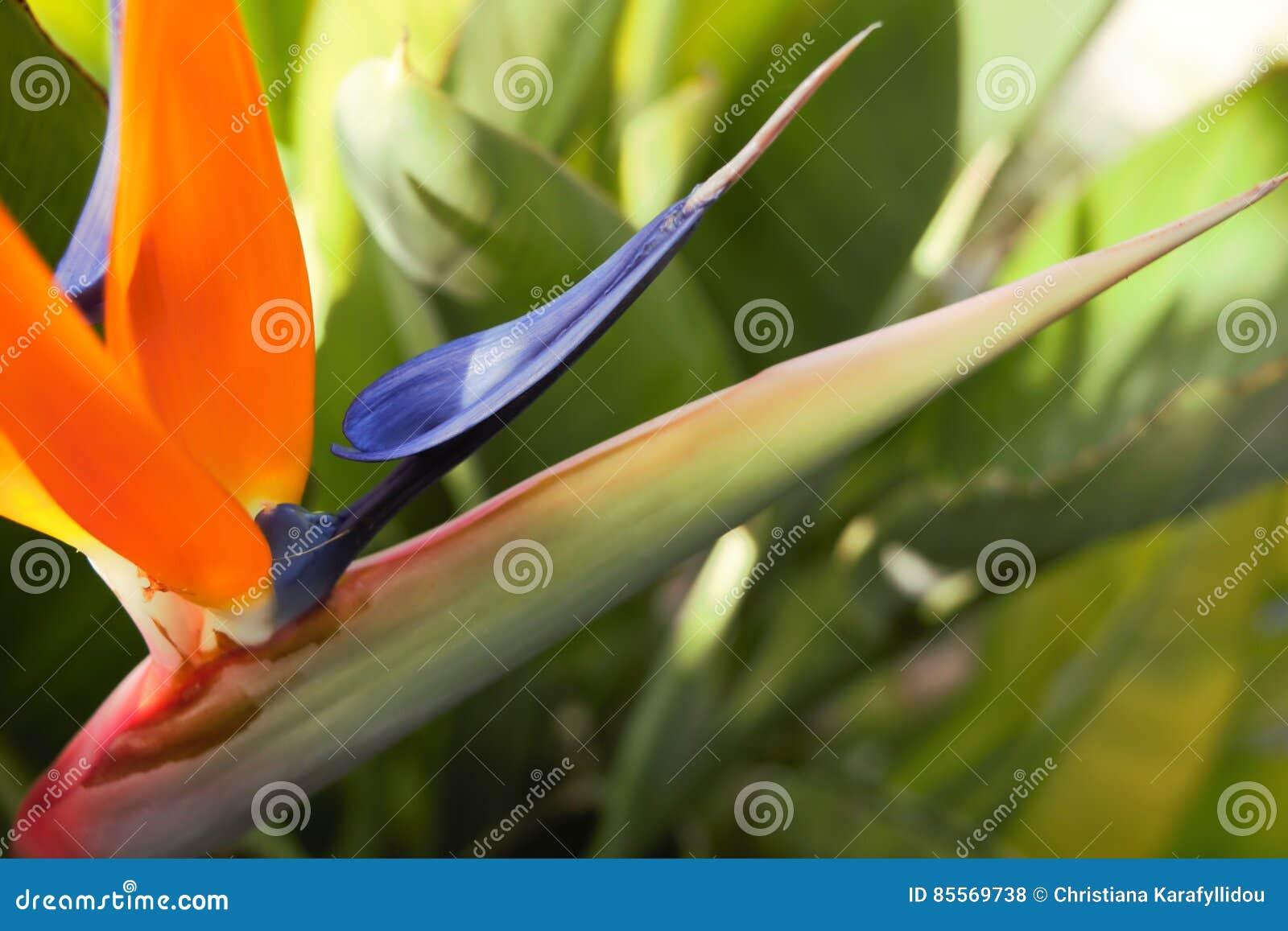 Strelitzia bird of paradise flower stock photo image of nature royalty free stock photo izmirmasajfo Images