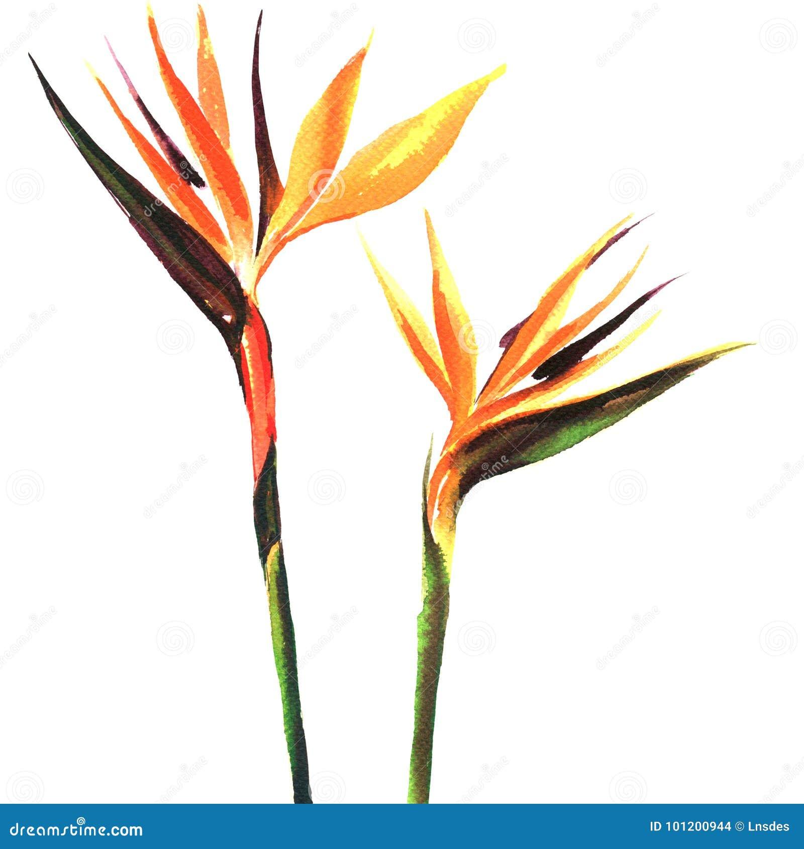 Strelitzia Bird Of Paradise Flower Two Flowers Isolated