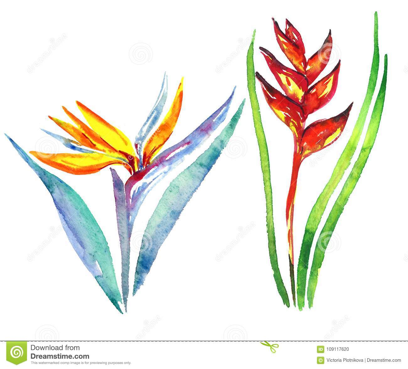Strelitzia Bird Of Paradise Plant Flower And Heliconia Stricta Stock