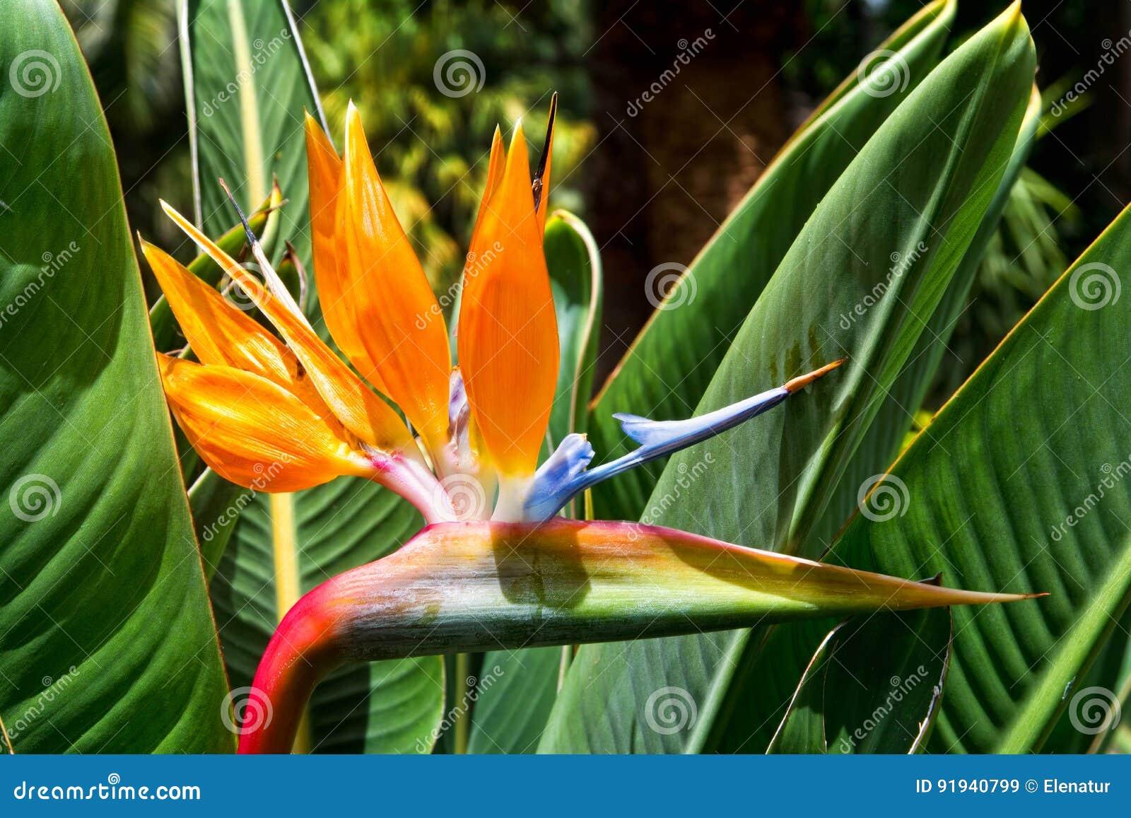 Strelitzia De Fleur Paradis D Oiseau Tenerife Iles Canaries Stock