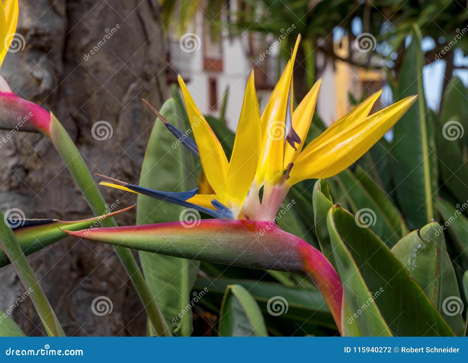 Strelitzia Fleur De Grue Oiseau Du Paradis Photo Stock Image