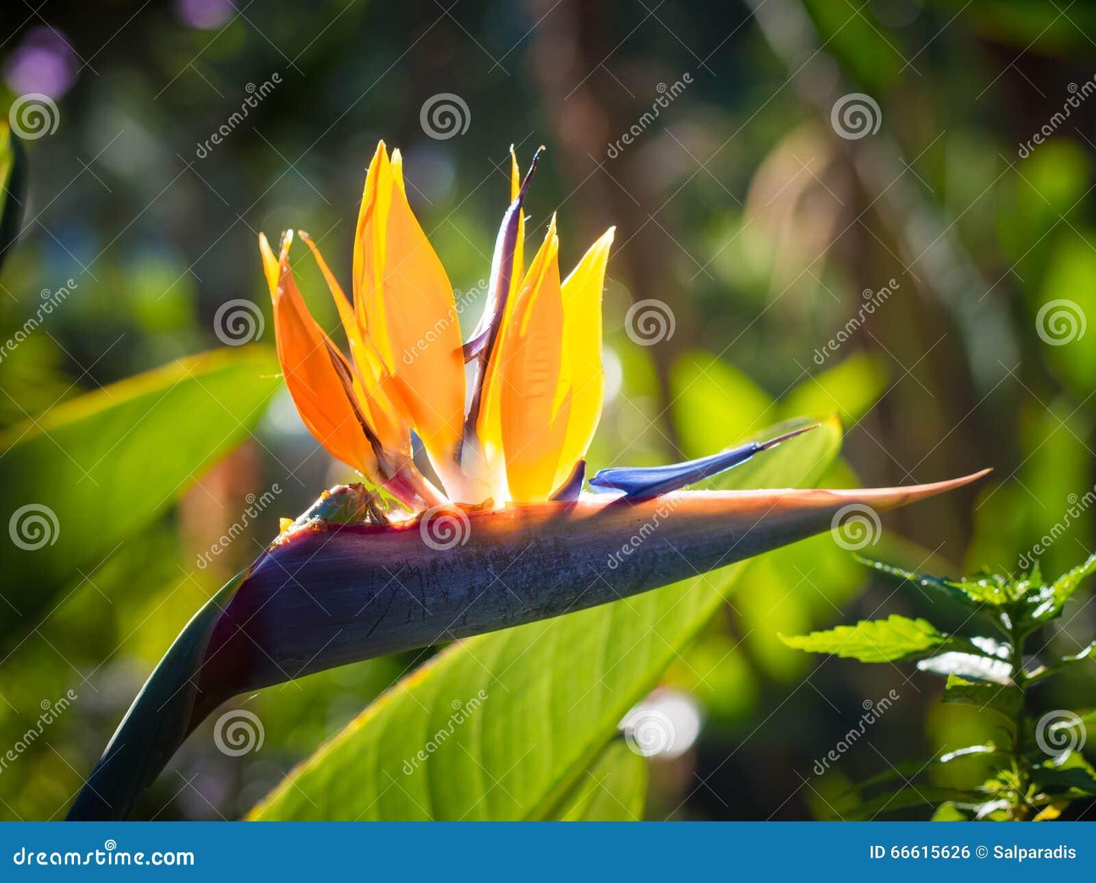 Strelitzia Oiseau De Fleur De Paradis Photo Stock Image Du