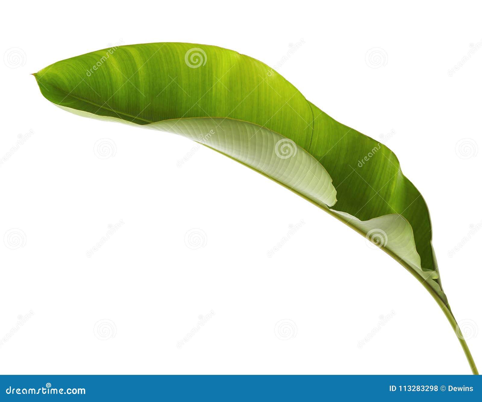 Strelitziareginae, Heliconia, tropiskt blad, fågel av paradislövverk som isoleras på vit bakgrund, med den snabba banan
