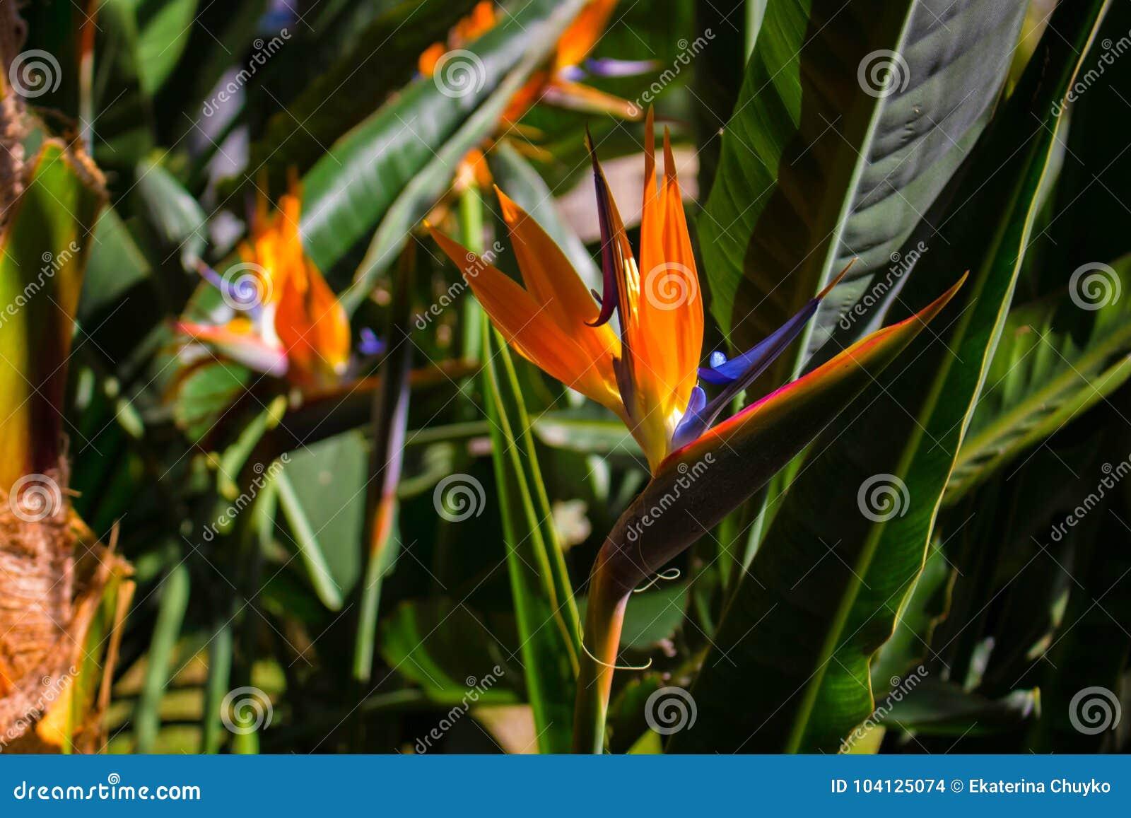 Pianta Fiori Arancioni.Strelizia Pianta Tropicale Con Il Fiore Arancio Fotografia Stock