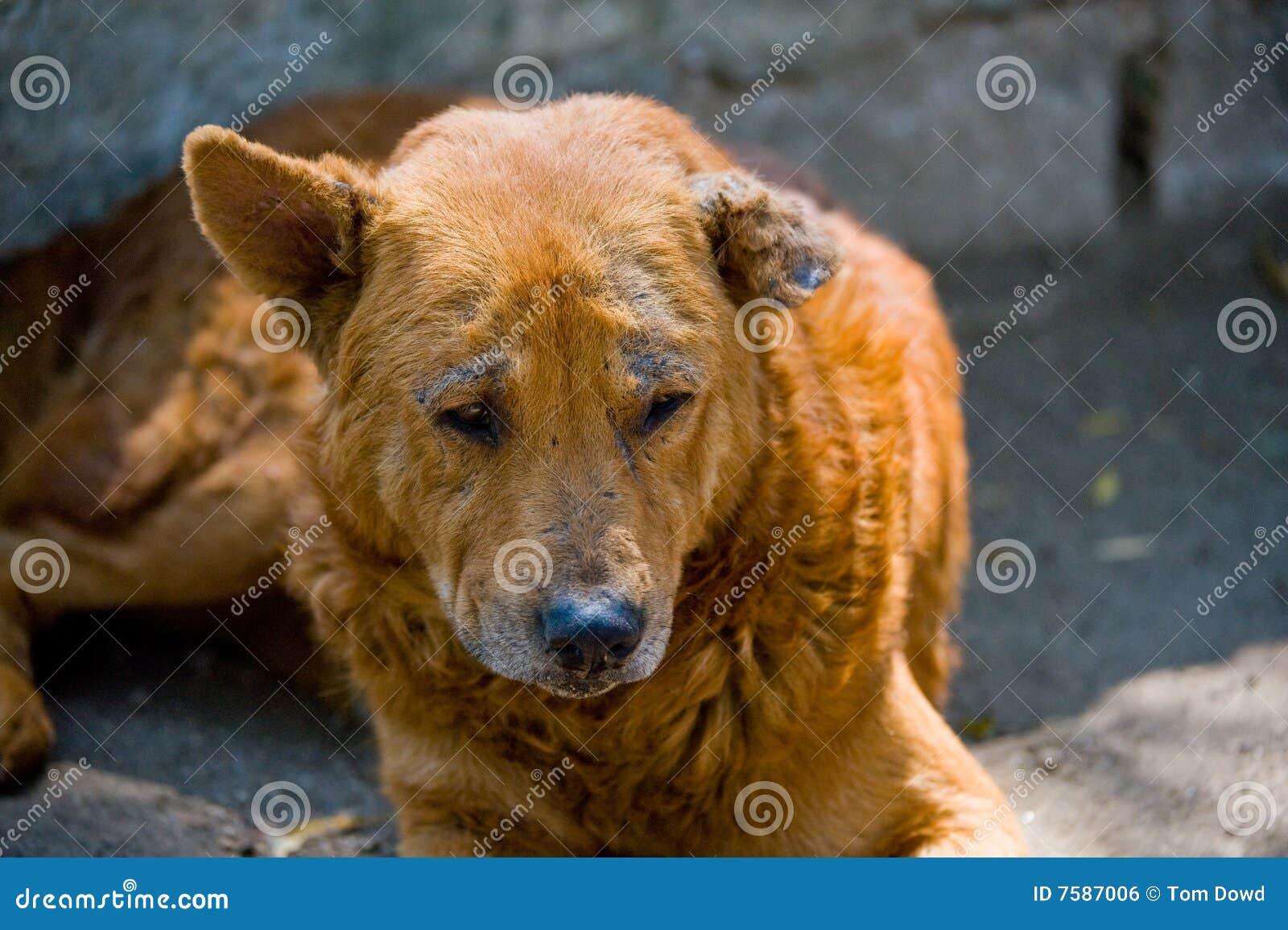 Streuhund in der falschen Gesundheit