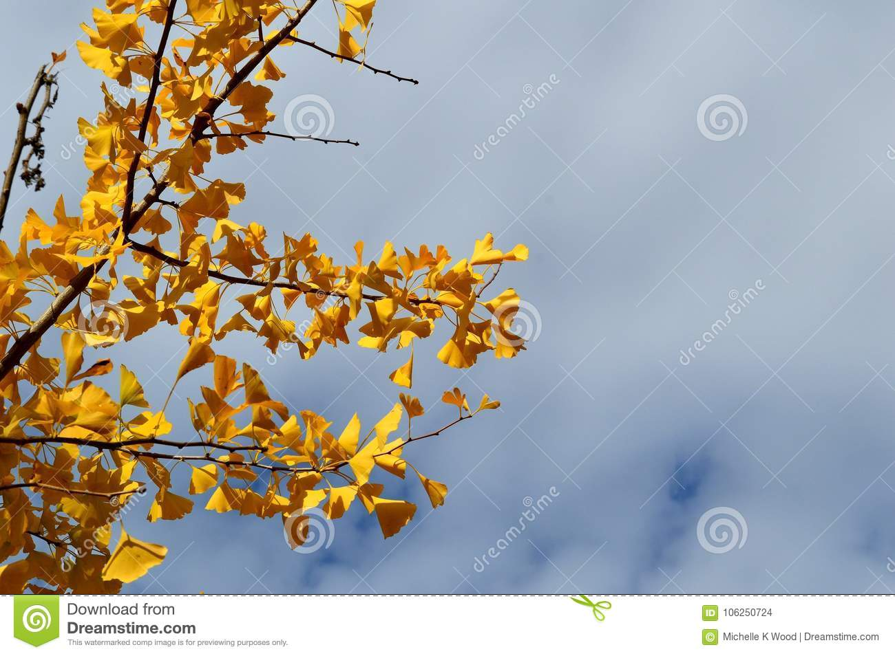 Fall Leaves Ginko Biloba Maidenhair Tree