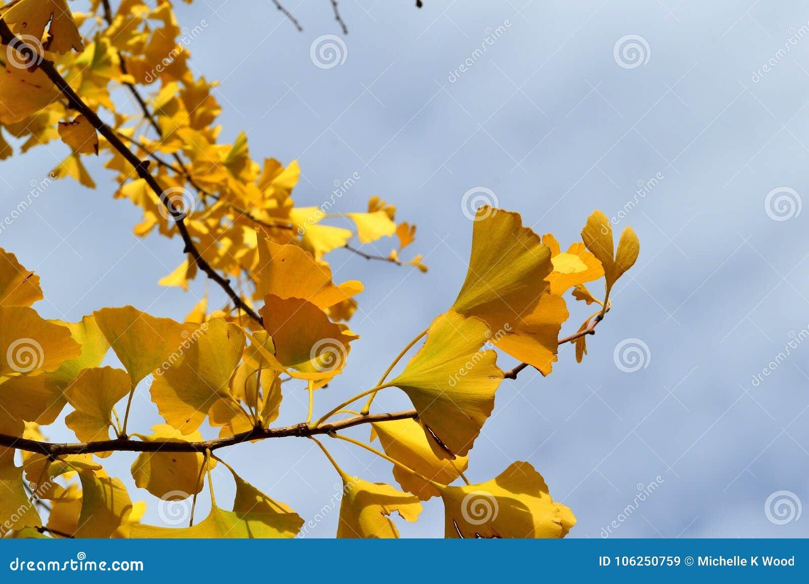 Autumn Leaves Ginko Biloba Maidenhair Tree